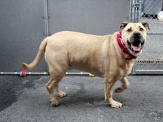 TO BE DESTROYED 7/14/14 Manhattan Center   My name is JOEY. My Animal ID # is A1005987. I am a neutered male tan and black labrador retr and chow chow mix. The shelter thinks I am about 3 YEARS old.  I came in the shelter as a STRAY on 07/08/2014 from NY 10033, owner surrender reason stated was STRAY.