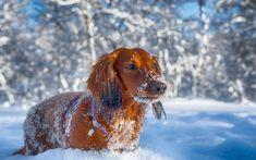 Lataa kuva Mäyräkoira, talvi, koirat, lemmikit, ruskea mäyräkoira, hanget, söpöjä eläimiä, Mäyräkoira Koira