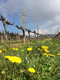 Flowers bloom in between the rows of vine in the Italian vineyards of Allegrini.  Their growth, forces the vines to compete for water, making the vines more harder and producing superior quality wines.