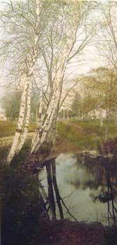 Birches In Autumn - Studio # 03662