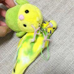 セキセイインコ ぴーちゃん 鳥フォトコンテストvol.019 テーマ「正面顔」結果発表