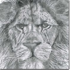 Lion Greeting Card by British artist Sarah Boddy. Taken from an original pencil illustration and blank inside, this card is a striking choice for any occasion! Swinging Safari, Chicken Humor, Funny Chicken, Lion Images, Animal 2, Animal Cards, Safari Animals, Pencil Illustration, Zebras