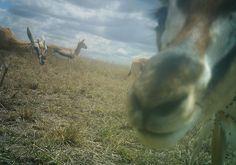 I just classified this image on Snapshot Serengeti! WOW