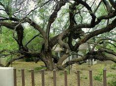 mesquite tree -