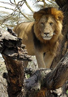 American hunters are emerging as a strong and growing threat to the survival of African lions, with demand for trophy rugs and necklaces driving the animals towards extinction