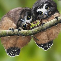 """2,667 Likes, 62 Comments - Colin Christian (@colinchristian) on Instagram: """"Baby Saw Whet Owls and a saddleback caterpillar ❤️"""""""