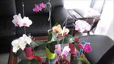 Cuidados preliminares para orquídeas Phalaenopsis nuevas o rescatadas - YouTube