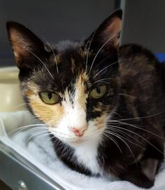 Holly is a spayed, 1.5 year old, calico female. She's a sweetheart! Holly is a beautiful calico cat who has unique markings and is a tiny thing! Holly is loving, affectionate, and inquisitive; she also loves a good, long nap. Holly has lived with...