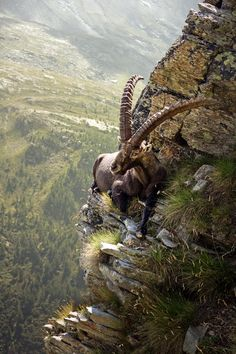 The Alpine ibex (Capra ibex), also known as the steinbock or bouquetin, is a species of wild goat that lives in the mountains of the European Alps. Alpine ibex tend to live in steep, rough terrain above the snow line. Nature Animals, Animals And Pets, Funny Animals, Cute Animals, Wildlife Nature, Artic Animals, Wild Animals, Funniest Animals, Baby Animals
