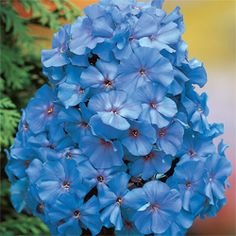 Blue Boy Phlox
