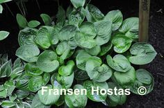 KOIRATARHAN YLÄPÄÄHÄN NippersDark-green, round and somewhat cupped leaves on upright petiolos, a very rapid growinG.  Hosta 'Nippers' is a small-medium Hosta that has lavender flowers and grows in sun/shade. The height is 25 to 30 cm and the growth is fast.