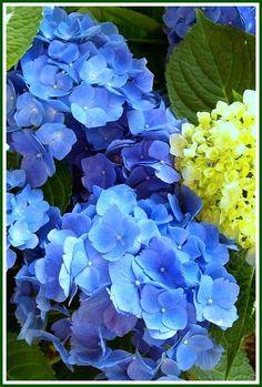Blue Hydrangeas ~ ho