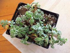 Sedum Spurium variegated Stonecrop