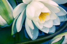 White Waterlily  Photograph,   Water Lily Floral Art Print, Still Life, Nature  Photography