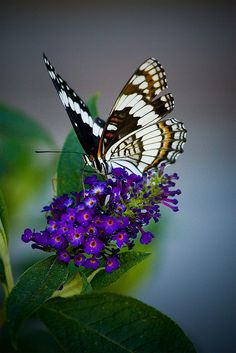 The Butterfly Bush. Great looking plant and when in bloom the color contrasts are amazing...plus the butterfly loves it. win win