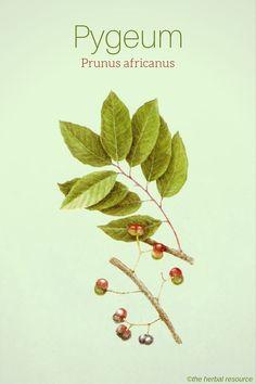 Pygeum Prunus africanus