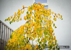 Alle skulle hatt et hjertetre i hagen! Planters, Plant, Window Boxes, Pot Holders, Flower Planters, Pots