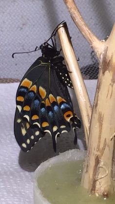 Second Black Swallowtail of 2016 emerged July 2.