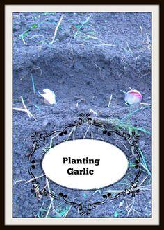 Vickie's Kitchen and Garden: Garden Update:   Planting Garlic