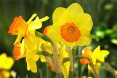 March birth month flower-Daffodil (aka Narcissus)