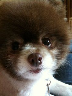 Murray the pomeranian #pom #pomeranian