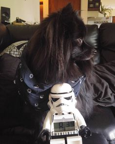 My stormtrooper pal and I hanging out for #starwarsday... May the fourth be with you!!!    Please follow my lovely pawtners: @boxer.paws @achihuahuatail @thewolfpack1331 @excuse_me_im_lucy  Wanna be pawtners? Comment below  #koda #pomsofinstagram #puppiesofinstagram #dogstagram #petstagram #instadog #instapuppy #instapet #pomeranian #puppy #dog #pet #happy #love #starwars #legostarwars #stormtrooper #maythefourthbewithyou #thedailypompom #lacyandpaws #pomeranianloverpost #pomeranianworld…