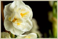 double daffodil (Narcissus 'Bridal Crown')  ...