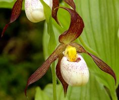 Cypripedium Ingrid a