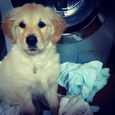 Having to do the laundry. Golden Retriever puppy.