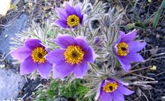 Pulsatilla Herb Benefits, Reviews, Side Effects And Dosage | http://www.vitaminsestore.com/pulsatilla-herb-benefits-reviews-side-effects-and-dosage/