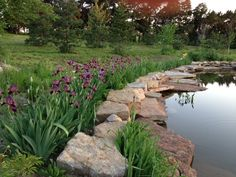 Heirloom bearded iris harvested last year from on our farm and replanted by the swimming pond.