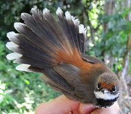 Rufous Fantail: common on Duchess island, along with the Mangrove Golden Whister and Louisiade White-eye