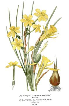 Common Daffodil antique Victorian botanical engraving print W Baxter art poster