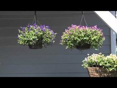 How To Use, Care And Grow Summer Wave® Torenia: Videos
