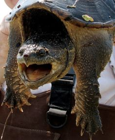 This was my arch nemesis growing up, I was afraid he would bite off my wiener. Mum said it wouldn't let go until it rained. Common Snapping Turtle, Alligator Snapping Turtle, Land Turtles, Sea Turtles, Kawaii Turtle, Spiritual Animal, Tortoise Turtle, Reptiles And Amphibians, Tortoises