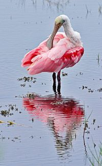 Roseate Spoonbill ~ my absolute favorite bird.  I'm so lucky to live in Florida and get to see these birds frequently!  LOVE LOVE LOVE