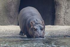 Cincinnati Zoo 10-25-17-2083   Fiona - Hippo   joemastrullo   Flickr Fiona The Hippo, Cincinnati Zoo, Baby Hippo, Hippopotamus, Amazing, Funny Animals, Baby Hippopotamus