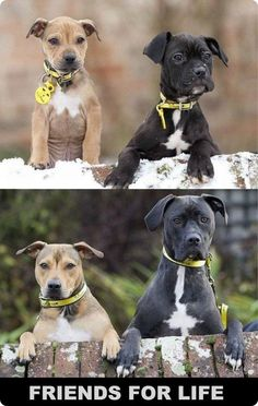 Pit Bulls Friends For Life