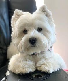 Fantastic Beautiful dogs detail are readily available on our web pages. West Highland Terrier, Highlands Terrier, Westie Puppies, Cute Dogs And Puppies, Westies, Doggies, Little Dogs, Cute Animal Pictures, Dog Pictures