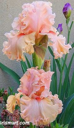 Birthday Girl Hybridized by Keppel; 2004 Height: 24-36, Coral/Apricot.Late Midseason  This is a very special Iris.  As you can see there are bundles of ruffles in the pictures.  The color of this Iris is very solid and last for a long time.  The bloom is so lovely and stand well in strong wind.