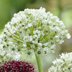"""~Allium Nigrum features glistening white domes filled with six-petaled florets that sits high atop 24"""" stems. Excellent cut flower for vases. Perfect flower for spring bridal showers!"""