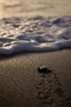 A hatchling leaving behind it's footsteps as it starts its live adventure. On October 30th, 2012, 92 olive ridley hatchlings were released in Dauin, Philippines. There's not many olive ridley nests in the Philippines and this is one of the first known nests in this region.
