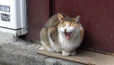 あくびする猫(B-402)猫写真-横浜 #猫写真