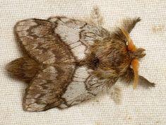 Lappet Moth, Lasiocampidae?