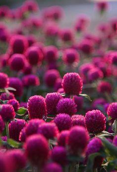 ¿sabías que la flor de los tréboles es de color magenta? THIS IS A PHOTO OF RED CLOVER-THE STATE FLOWER OF VERMONT.