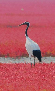 chinese red crown crane images | ... Pictures of Red Beach and Red-crowned Cranes in Panjin, China
