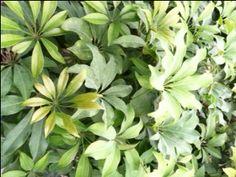 Caring for Schefflera; Umbrella Plant, Arboricola, Amate