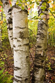 White Birch Forest Pictured Rocks National LakeshoreAlger County , Michigan