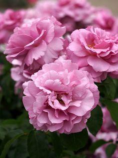 Rose 'Tutu Mauve' Rosa