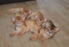 Image result for Abyssinian Cat fawn